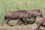 Fototapeta Sawanna - stado guźców z podniesionyi ogonami idące przez trawy w parku serengeti