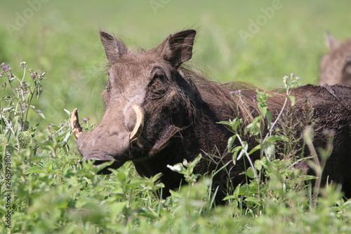 guziec wśród traw na wielkiej równinie afrykańskiej w parku serengeti