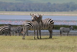 Fototapeta Sawanna - dwie przytulające się zebry na sawannie ze stadem w tle