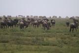Fototapeta Sawanna - antylopy gnu w trawie w naturalnym środowisku
