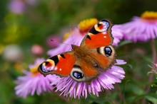 Peacock Butterfly (Aglais Io) On Blossom Of Aster, Bavaria, Germany, Europe