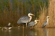 Group Grey Herons (Ardea Cinerea), Standing In The Water, National Park Kiskunsag, Hungary, Europe