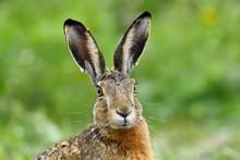 European Hare (Lepus Europaeus), Portrait, National Park Lake Neusiedl, Burgenland, Austria, Europe