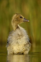 Small Greylag Goose (Anser Anser), Chick Stands In The Water, National Park Kiskunsag, Hungary, Europe
