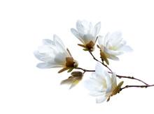 Branch Of White Japanese Magnolia Kobus Isolated On White Background