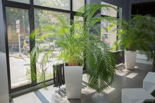 Vases In A Row . Green Plant Pot Next The Window In The Morning . Decorative Areca Palm. Indoor Flower Pots Plants, Large .