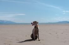 Weimaraner On Beach