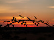 Romantic orange sky at the sunset with few clouds and chemtrails in the dehesa and tree silhouette