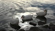 Three White Ducks By The Water Edge