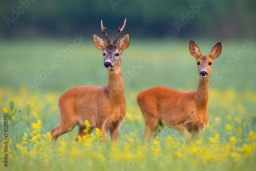 Roe deer, capreolus capreouls, couple int rutting season staring on a field with yellow wildflowers. Two wild animals standing close together. Love concept.