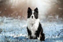 Border Collie Dog Beautiful Winter Portrait In A Snowy Forest Magic Light