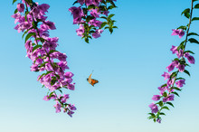 View Of Bougainvillea Flowers ...