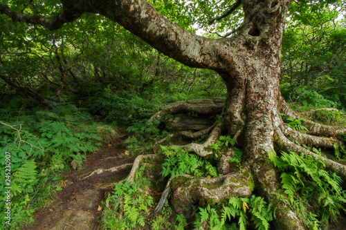 Fotografie, Obraz  Gnarly Tree at Craggy Gardens