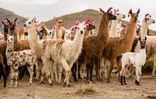Lama Herd