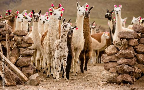 Foto auf Leinwand Lama lama herd