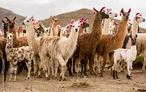 Photo sur Toile Lama lama herd