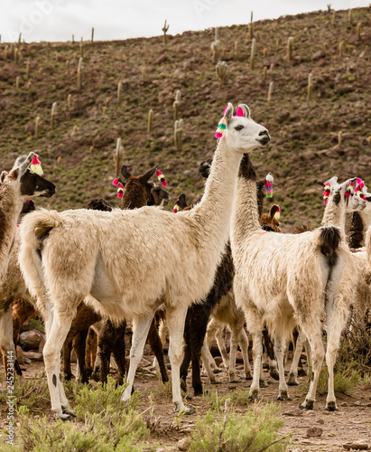 Poster Lama lama herd