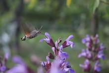 Hummingbird Hawk Moth Feeding ...