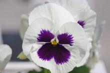 White And Purple Viola Majestic Giant. White Viola Wittrockiana Closeup