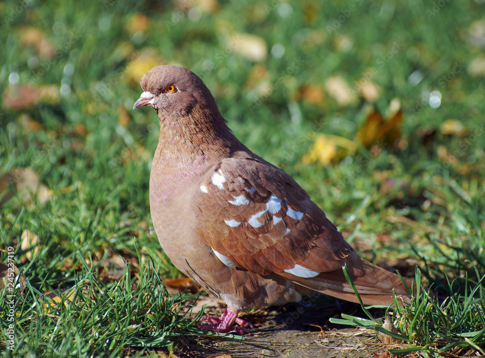 Brown pigeon in green grass