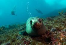 Curious Sea Lion Underwater