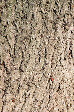 Close Up Of A Tree Bark Infest...