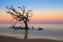 Lone Bare Oak Tree In The Atlantic Ocean Off Driftwood Beach On Jekyll Island, Georgia At Sunset