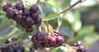 canvas print picture - Acai berry