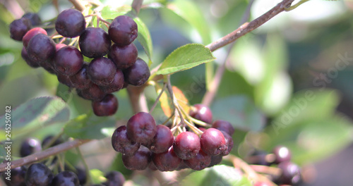 Photo Acai berry