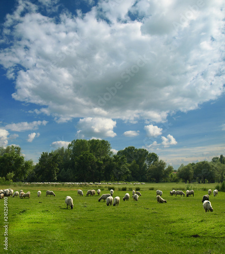 sheep flock and sky