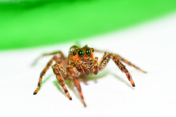 Jumping spider colorful on nature green leaf plant background