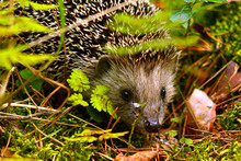 A Small Hedgehog (lat. Erinace...