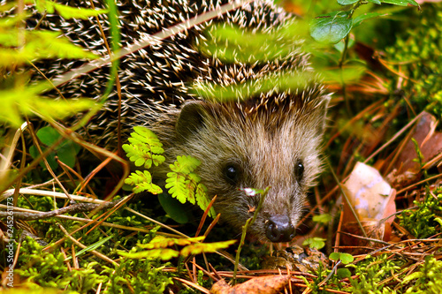 A small hedgehog (lat Fototapeta