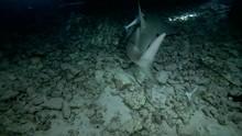 Giant Guitarfish - Rhynchobatus Djiddensis Swims At Night