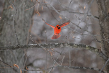 Red Cardinal In The Woods In W...