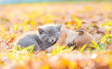 Tiny Kitten And Mongrel Puppy Sleep Together On Autumn Leaves At Sunset