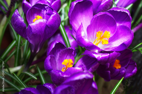 Fototapety, obrazy: Blooming purple crocuses. Close-up