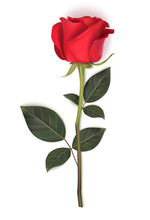 Single Red Rose With Long Stem...