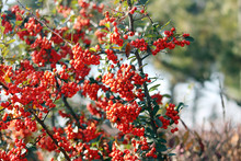 Pyracantha Branch With Berry-like
