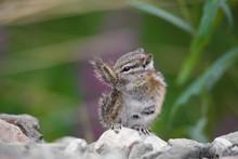 Streifenhörnchen Chipmunk Wildlife