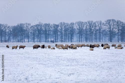 Schafherde im Schnee