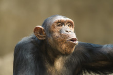 Closeup Portrait Of A Chimpanzee Shouting
