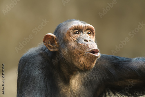 Foto Closeup portrait of a chimpanzee shouting