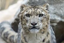 Closeup Portrait Of A Snow Leo...
