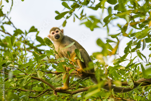 Squirrel monkey in a tree Wallpaper Mural
