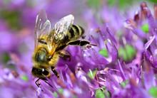 Biene Insekt Auf Zierlauch Lila