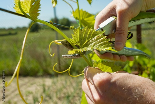 Spring garden, care, pruning. Male hands with pruner trimming grapevine at spring garden is working with bush of grapes