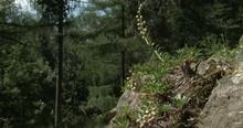 Silique Of Greek Bladderpod Alyssoides Utriculata.