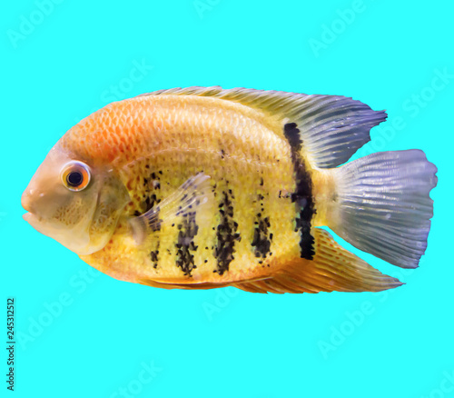 Poster Sous-marin Striped fish from the Amazon and Orinoco. Heros efasciatus. Isolated photo on blue background. Website about nature and aquarium fish.