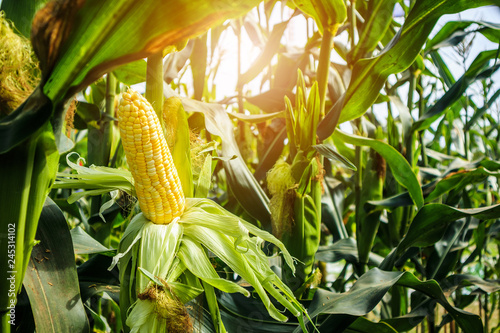Fotomural  Corn cob with green leaves growth in agriculture field outdoor